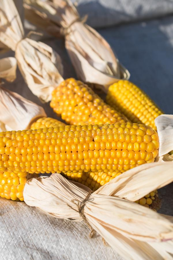 Crop cobs ripe of yellow organic and fresh corn royalty free stock photo