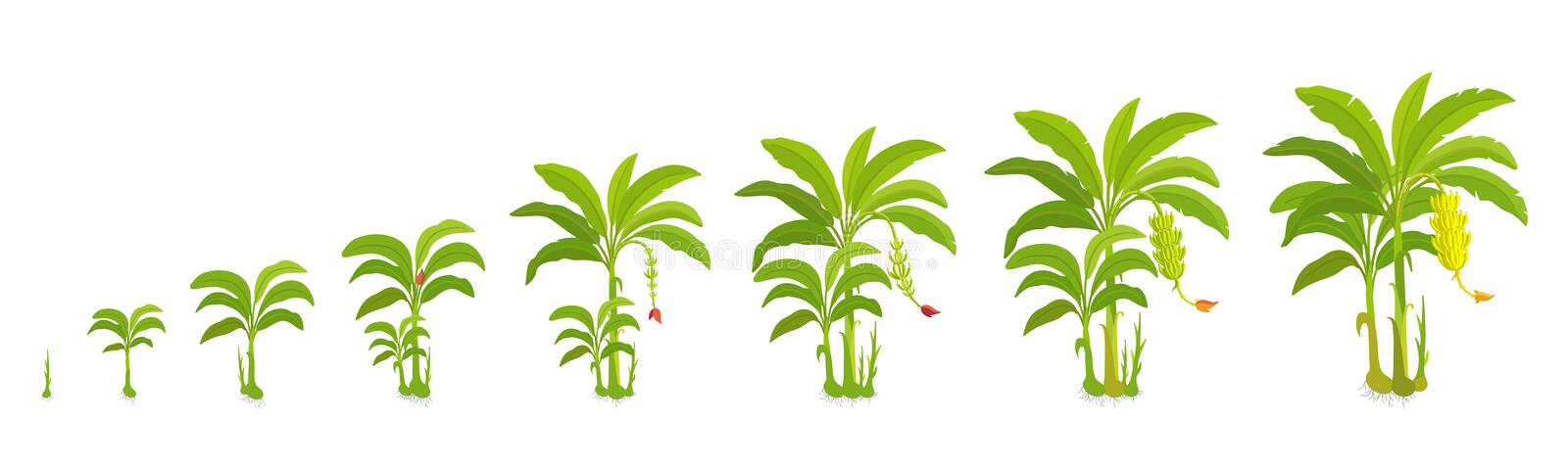 Crop cycle for banana tree. Crop stages bananas palm. Vector Illustration growing plants. Harvest growth biology. Musa. Acuminata. Musaceae cultivars On white vector illustration