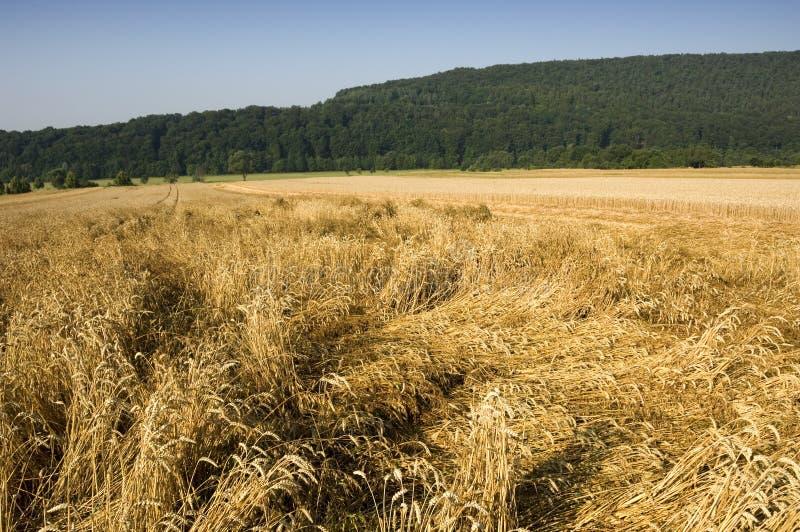 Crop damage royalty free stock image