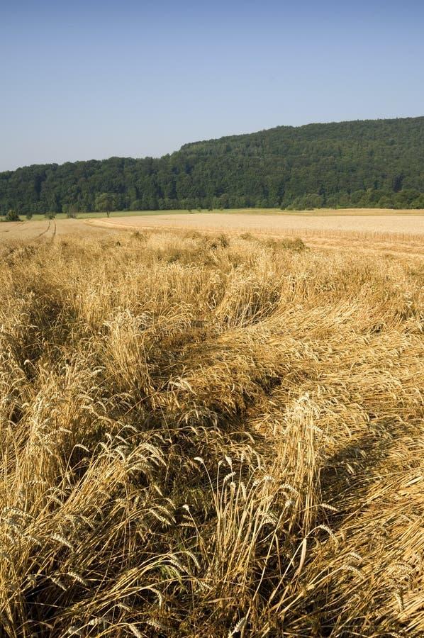 Crop damage stock image