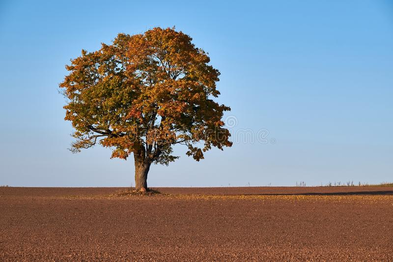 Crop field with big oak in middle.Old oak tree in the middle of the field royalty free stock photography