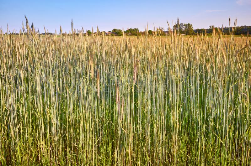 Crop field in the evening warm sunlight.  stock image