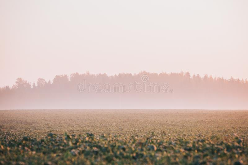 Crop field with forest in background covered in fog. Autumn early morning scene. royalty free stock photography