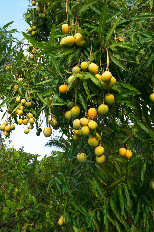 crop mango στοκ φωτογραφία