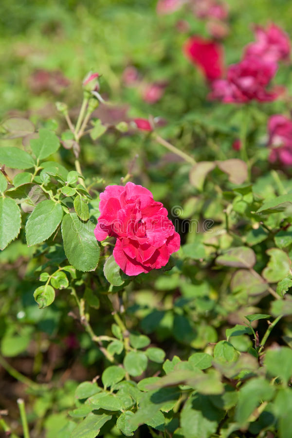 Crop pink rose in a small garden. stock photo