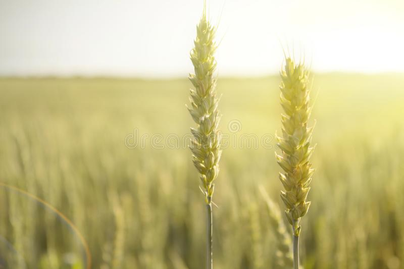 The crop of rye in a field at sunset royalty free stock photography