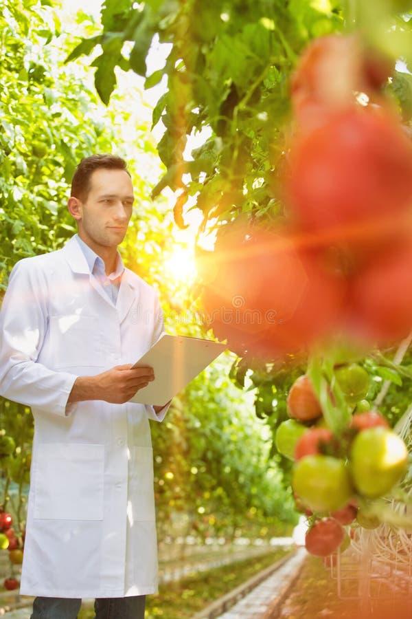 Crop Scienziato esamina i pomodori mentre scrive un rapporto in serra con lenti gialle in fiamme fotografia stock