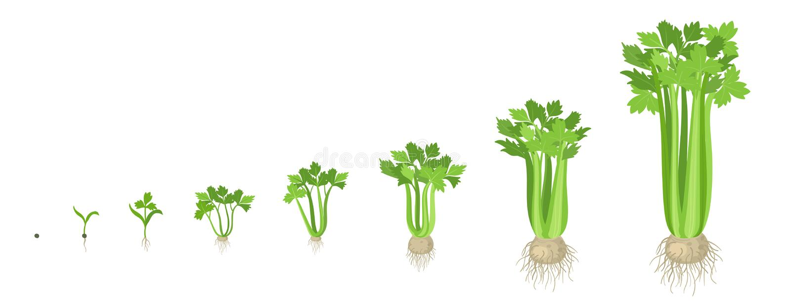 Crop stages of Celery. Growing Celery plant. Harvest growth vegetable. Apium graveolens. Vector flat Illustration. Crop stages of Celery. Growing Celery plant stock illustration