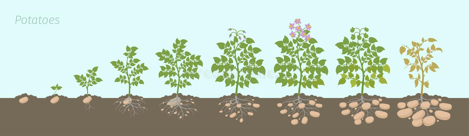Crop stages of potatoes plant. Growing spud plants. The life cycle. Harvest potato growth progression In the soil. Crop stages of potatoes plant. Vector vector illustration