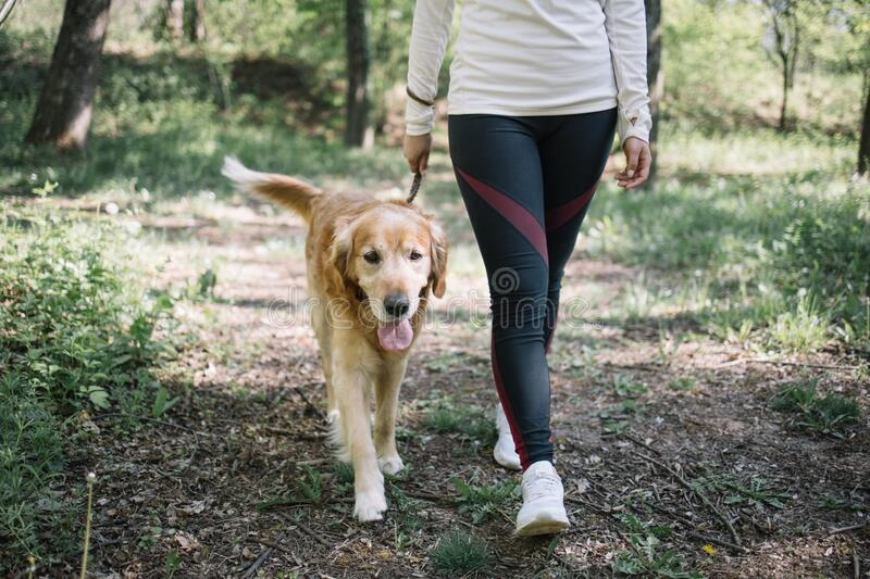 Cropped girl walking on forest road with dog. Retriever dog on leash walking on forest path near his owner`s legs stock photography