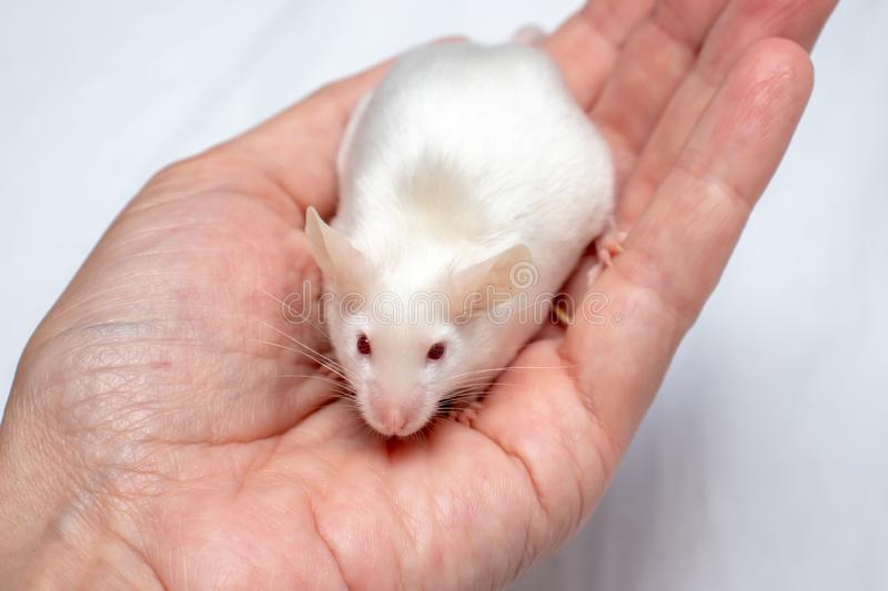 Cropped hand holding pretty cute white laboratory mouse. Cropped kid`s hands holding pretty cute white laboratory mouse royalty free stock images