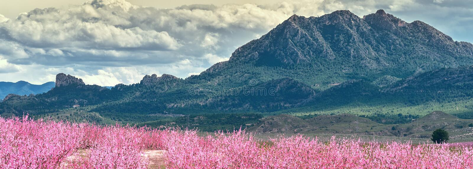 Cropped horizontal image orchards in bloom, Cieza, Spain stock images