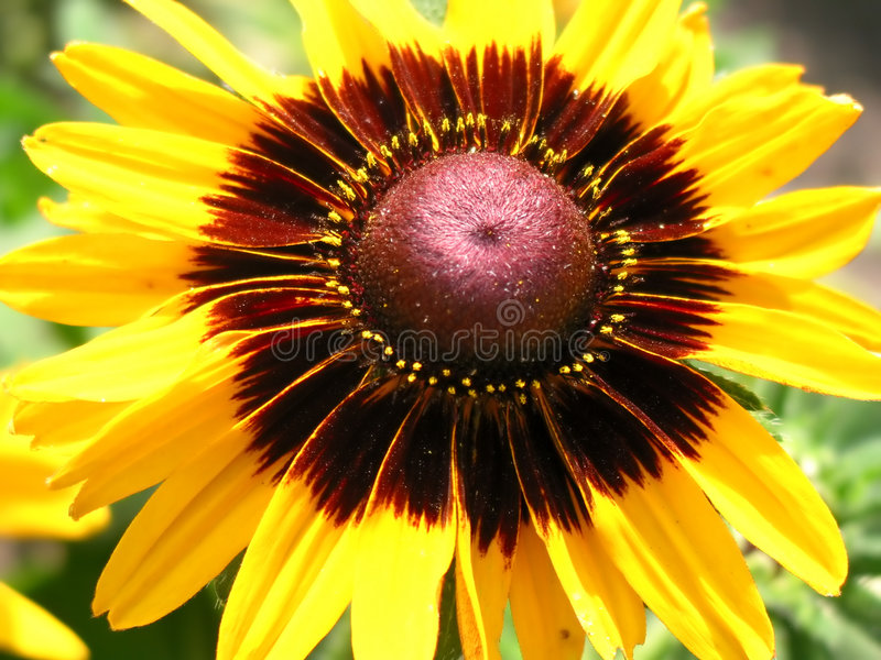 Download Cropped macro of sunflower stock photo. Image of park, garden - 180416