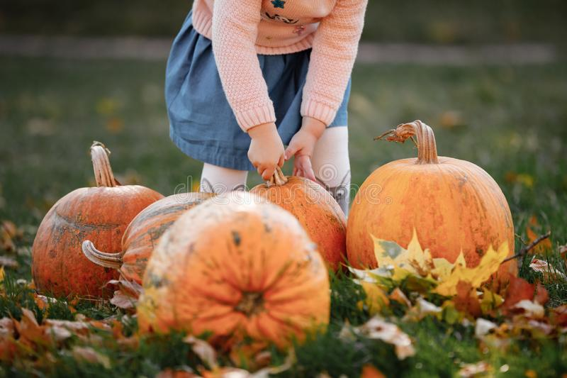 Cropped photo of a little girl trying to lift a pumpkin. field with pumpkins stock photo