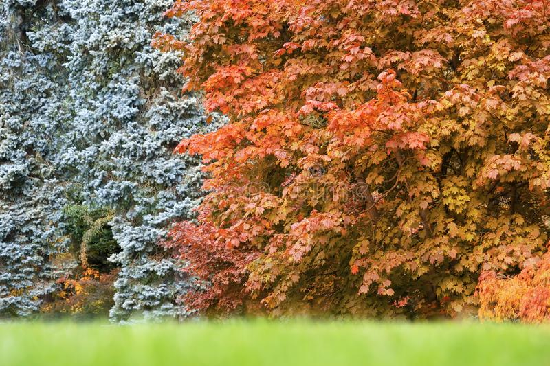 Cropped shot of beautiful muticolour of Autumn leaves in forest, Yellow, Orange and Red of japanese maple leaves stock images