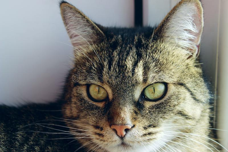 Portrait Of A Cat, Close Up. Pets, Animals Day, Animals Concept. Tabby Cat. Cropped Shot Of A Cat Looking To The Side. Portrait Of A Cat, Close Up. Pets royalty free stock images