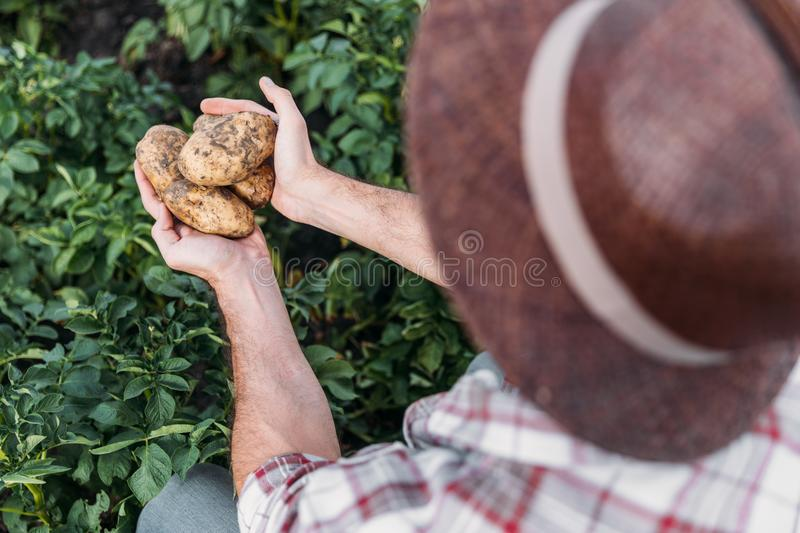 Farmer holding potatoes in field. Cropped shot of farmer holding ripe potatoes while working in field royalty free stock images