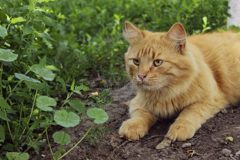 Cropped shot of a red cat outdoors.  Animals, pets concept. Tabby cat outside stock images