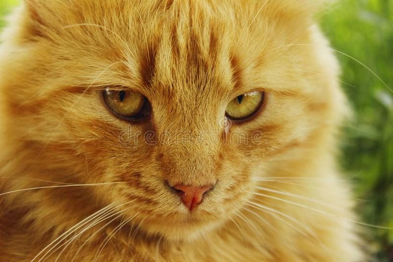 Cropped shot of a red cat outdoors. Animals, pets concept. Cropped shot of a red cat outdoors.  Animals, pets concept. Tabby cat outside stock photos