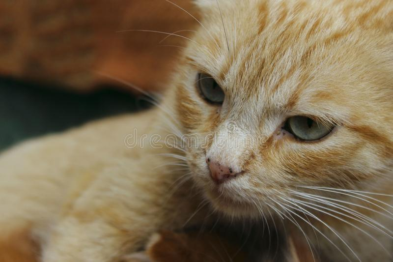 Cropped shot of red tabby cat. Animals, pets concept. Red stray cat, close up royalty free stock photography
