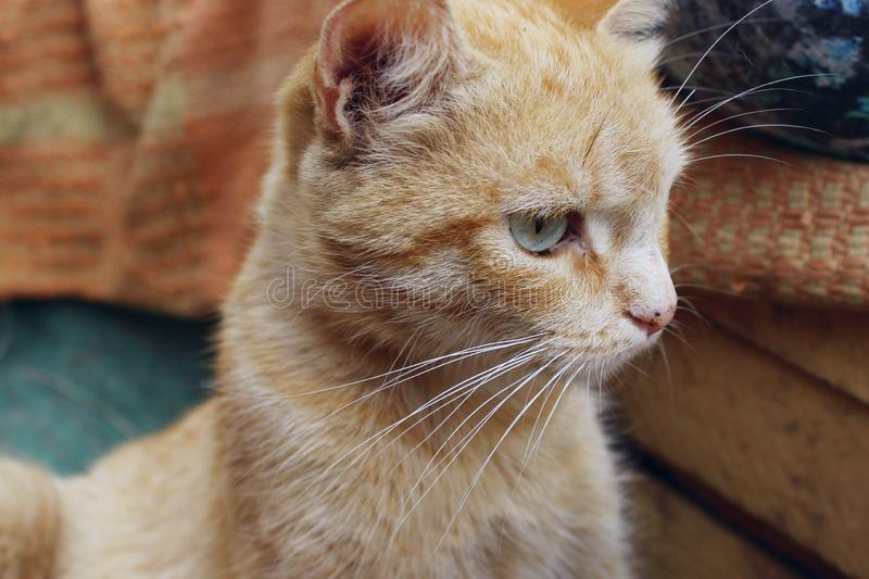 Cropped shot of red tabby cat. Animals, pets concept. Red stray cat, close up stock photography