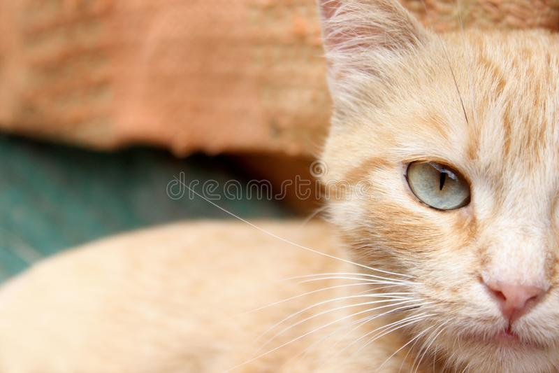 Cropped shot of red tabby cat. Animals, pets concept. Red stray cat, close up royalty free stock images