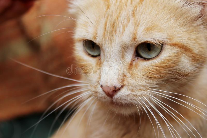 Cropped shot of red tabby cat. Animals, pets concept. Red stray cat, close up royalty free stock image