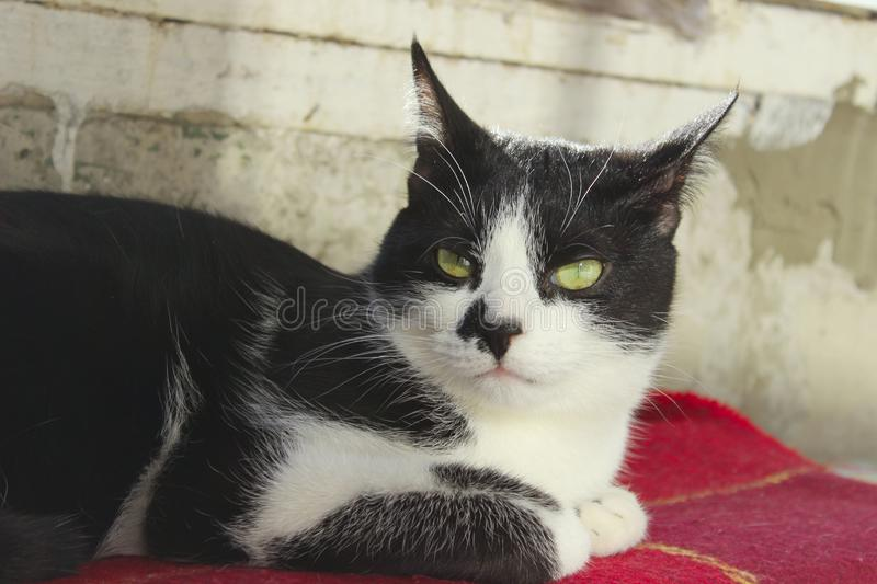 Cropped Shot Of A Tuxedo Cat. Cat Lying. Animals, Pets Concept. Cropped Shot Of A Tuxedo Cat. Cat Lying stock images