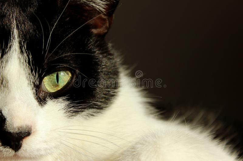 Cropped shot of tuxedo cat. Pets, animals concept. Black cat over dark background. Cropped shot of tuxedo cat. Pets, animals concept. Black cat over dark royalty free stock photos