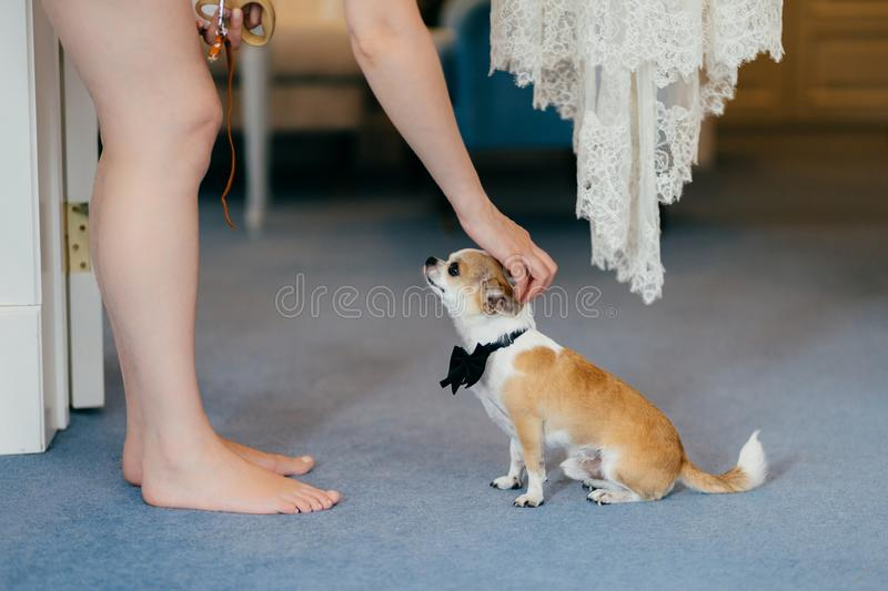 Cropped shot of unrecognizable woman pets her small dog with bowtie on neck, have friendly relationships. People, animals concept stock image