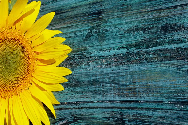 Cropped shot of yellow sunflowers on blue painted wooden background. Abstract colorful background. royalty free stock images