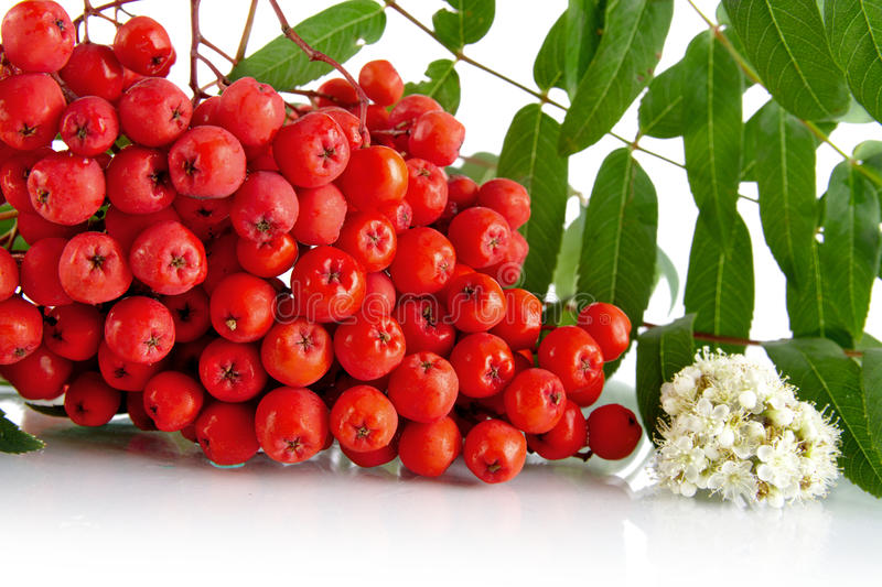 Cropped studio shot of red ash-berry on white. Studio shot of red ash-berry with blossom, green leaves of rowanberry on white background stock photography