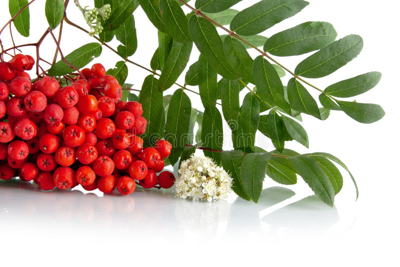 Cropped studio shot of red rowanberry on white. Studio shot of red rowanberry with blossom, green leaves of rowanberry on white background royalty free stock image