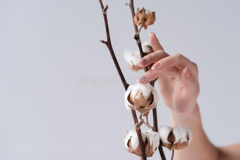 cropped view of tender female hand with cotton flowers, stock photography