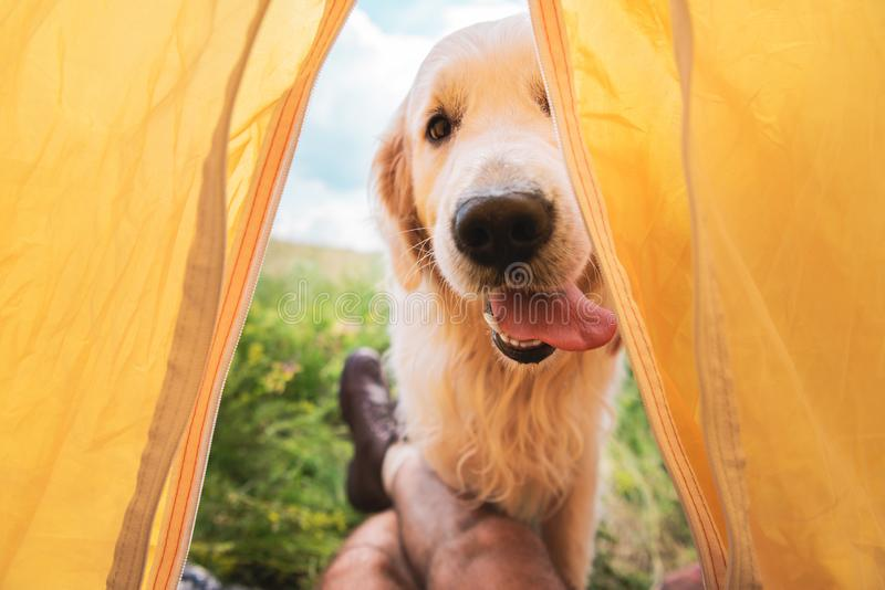 cropped view of traveler in tent with funny golden stock images