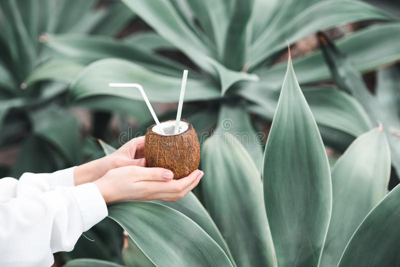 cropped view of woman holding fresh cocktail in coconut with straws, royalty free stock photography