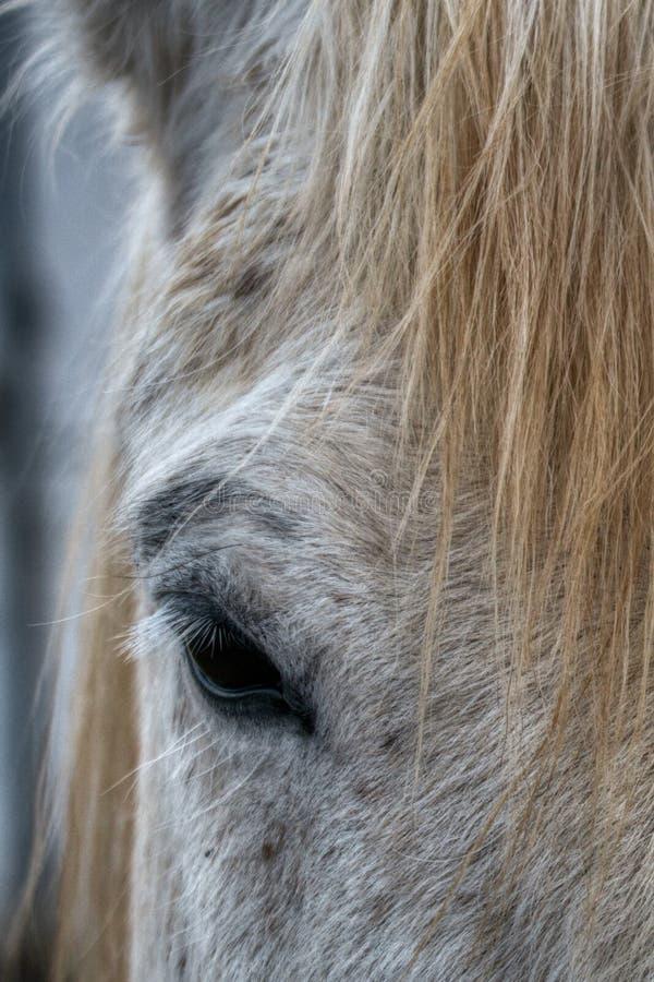 Cropped zamknięty w górę widoku oko popielaty koń obraz royalty free