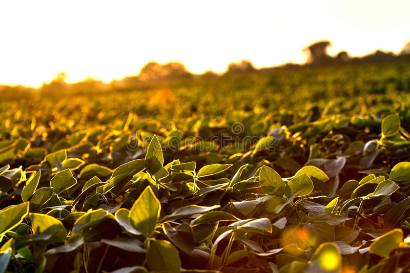 Download Crops stock photo. Image of dusk, harvest, field, meadow - 20427824