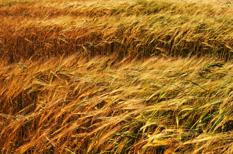 Download Crops stock photo. Image of nutrition, rural, wheat, warwickshire - 26396712