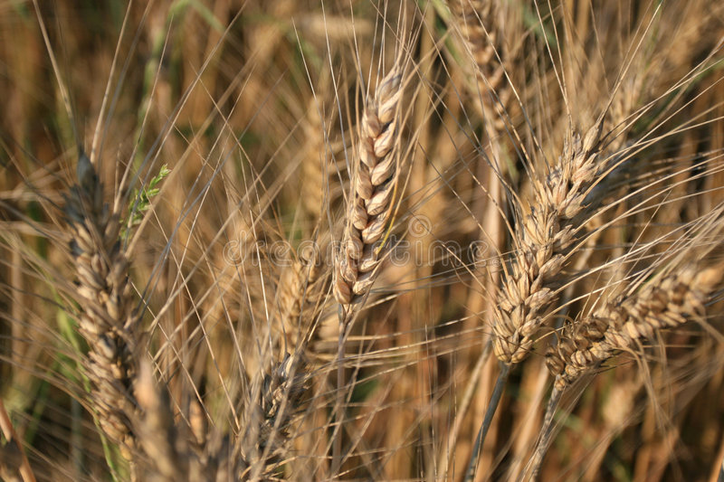 Download Crops Background Stock Photos - Image: 2316123