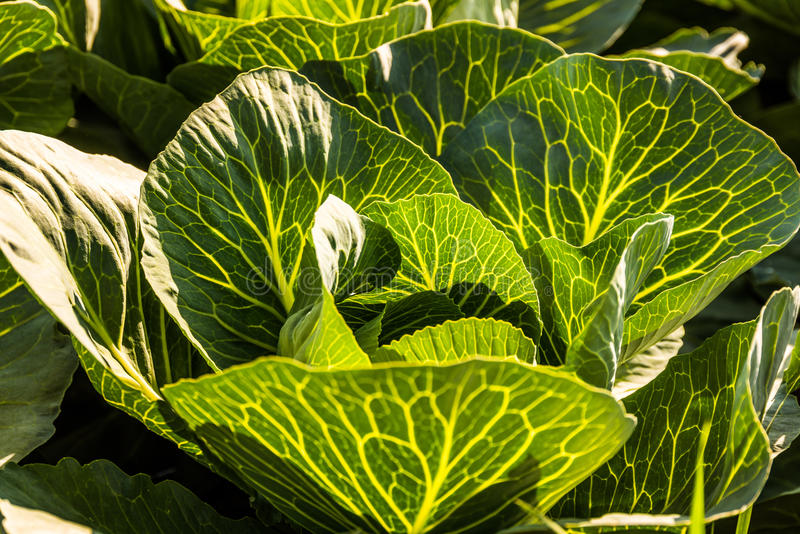 Crops of cabbage royalty free stock photography