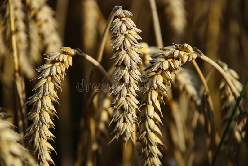 Crops field royalty free stock image