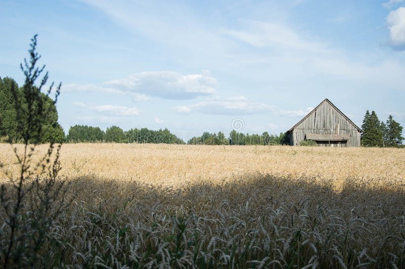 Crops field royalty free stock images