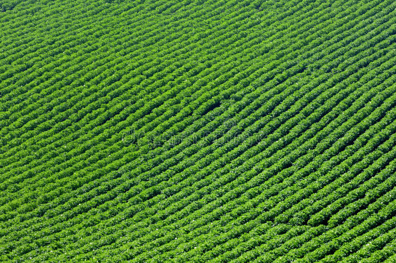 Crops and in the furrow. The growth of crops in the ground, a neat furrow Article royalty free stock photo