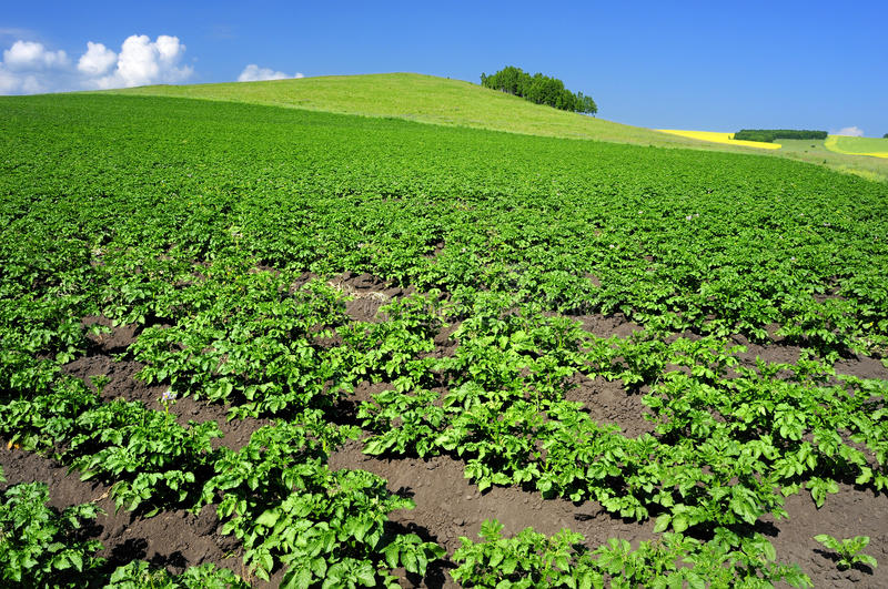 Crops and in the furrow. The growth of crops in the ground, a neat furrow Article stock photo