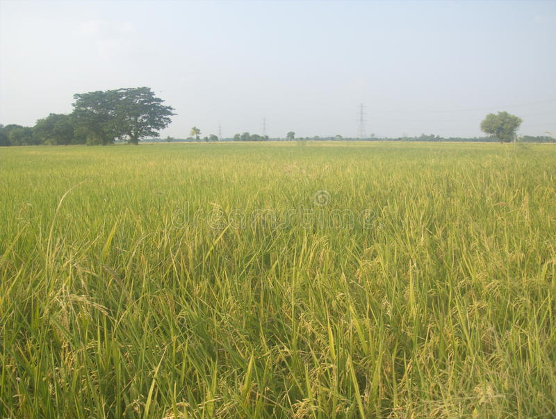 Crops. Rice Rice is the seed of a plant of the genus found in Asia. Scientific name : Oryza sativa Rice is consumed as a major food grains , which the world's royalty free stock image