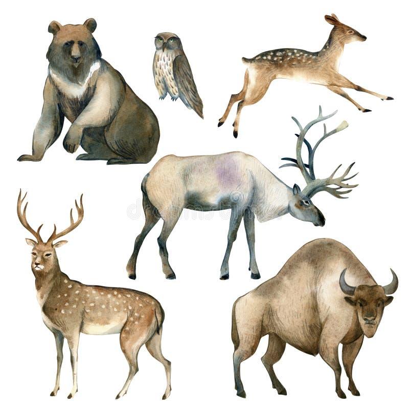 Croquis animal de forêt réaliste d'aquarelle Ours de Brown, cerf commun, élans, hibou, bison, mâle illustration stock