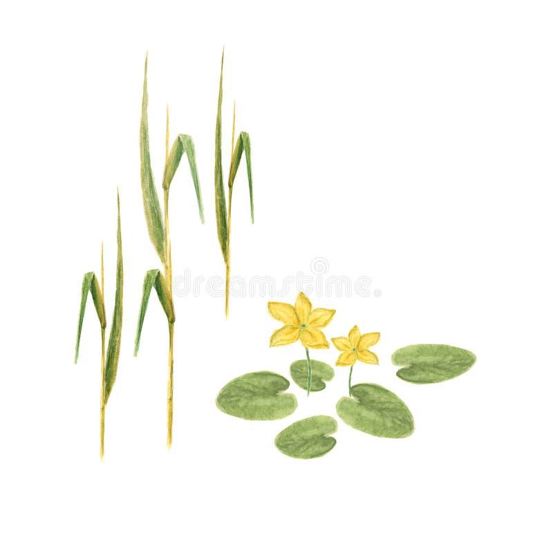 Croquis botanique d'illustration d'aquarelle de couleur de floraison naturelle de jaune de fleur de lotus avec des feuilles sur l illustration de vecteur