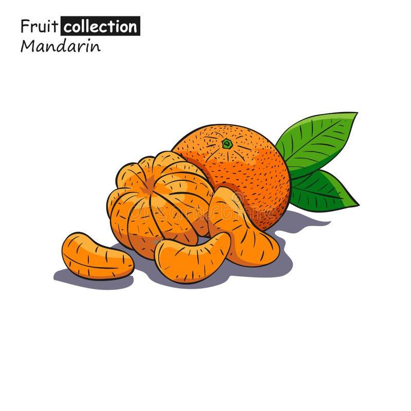 Croquis coloré de mandarine illustration stock