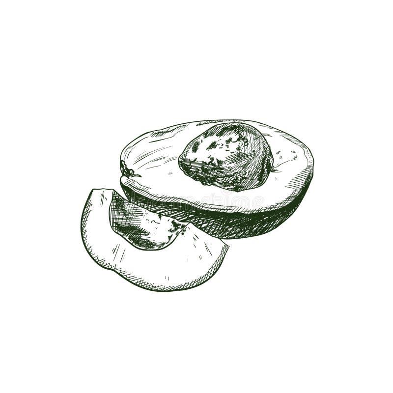 Croquis d'avocat de vecteur, dessin exotique de fruit d'isolement illustration de vecteur